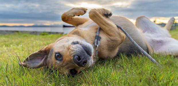 dog lying on back in a field