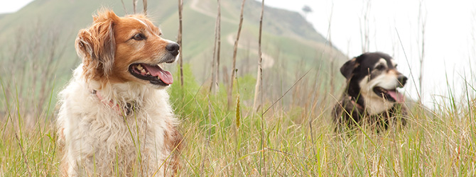two dogs in field with tall grass