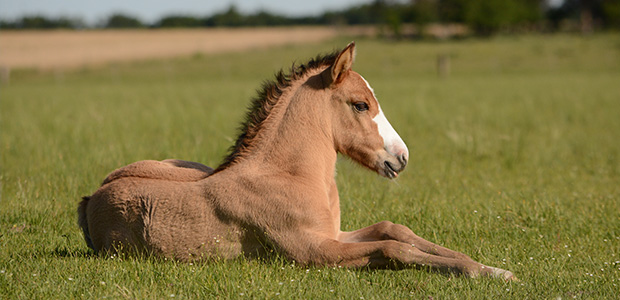 horse lying down in field
