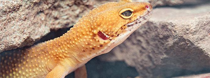 gecko health problems
