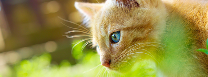 close-up of ginger cat with bright blue eyes