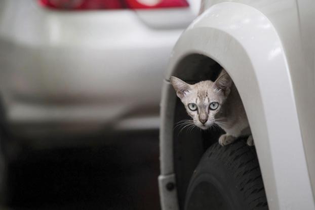 cat sleeping under car wheel