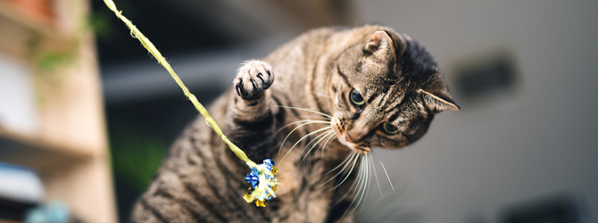 grey cat playing with toy