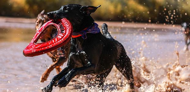 dogs running through muddy water