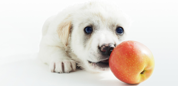 adorable puppy sniffing an apple