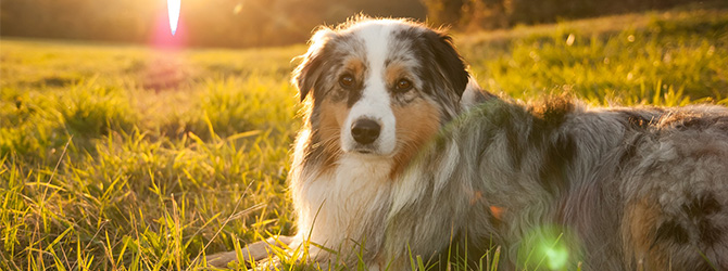 australian shepherd on grass at sunset