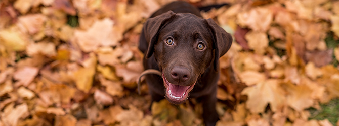 Labrador puppy on autumn leaves