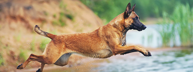 belgian malinois jumping over water