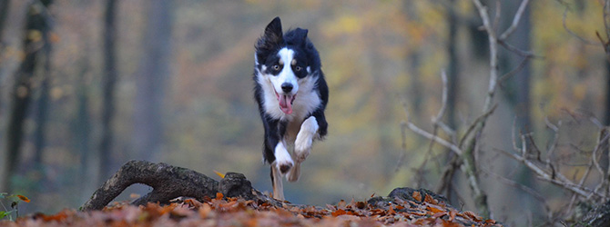border collie running over autumn leaves