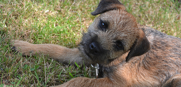 cute border terrier on grass
