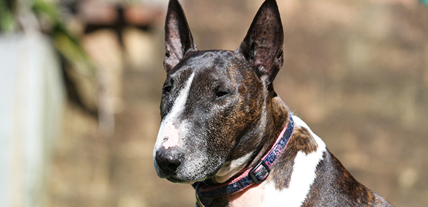 brown and white bull terrier