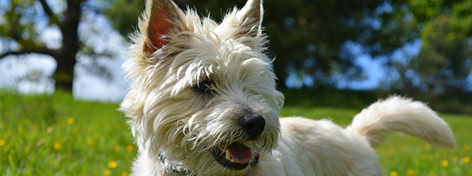 cairn terrier in field, wagging tail