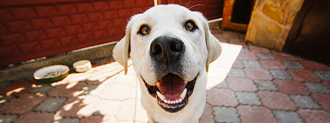 yellow labrador close to camera