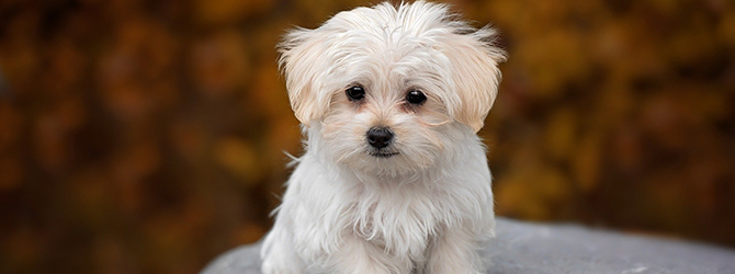 cute white puppy with blurred background