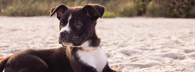 staffordshire bull terrier puppy on beach