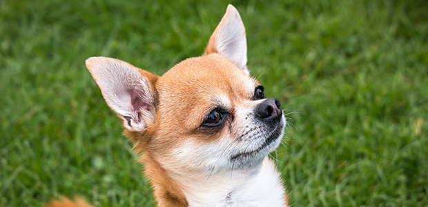 ginger chihuahua looking up