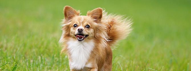 light brown chihuahua running on grass