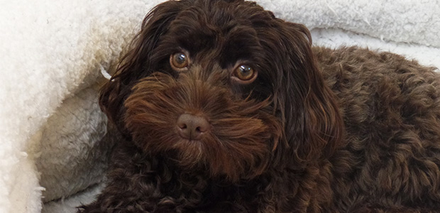 brown cockapoo in bed looking up