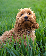 cockapoo in grass
