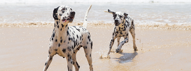 two dalmatians running on a beach
