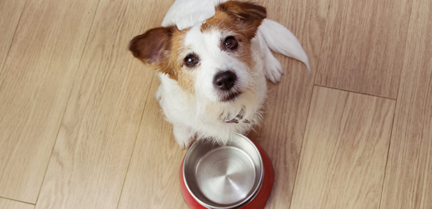 jack russell next to empty bowl
