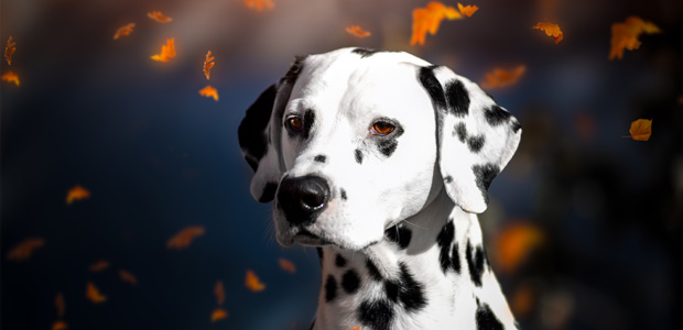 dalmatian with falling autumn leaves
