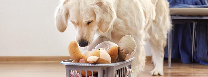 golden retriever looking over basket of toys