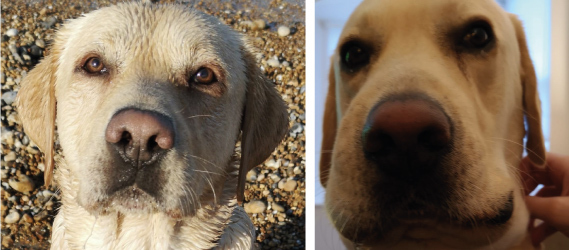 before and after shot of ralf the labrador