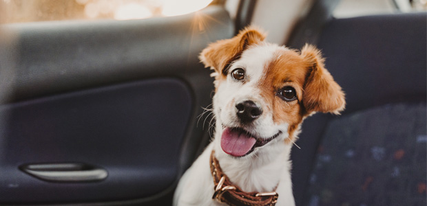 jack russell in back of car