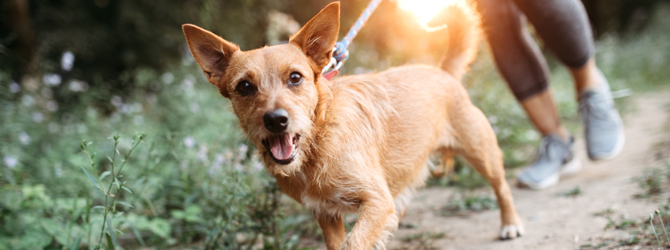 Red terrier on a walk with woman