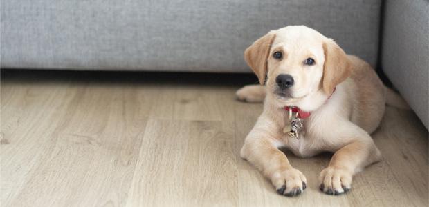 cute labrador sat by sofa