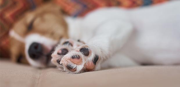 sleeping jack russel