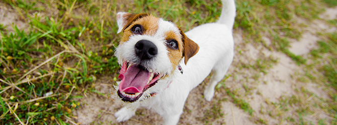 jack russell with mouth open