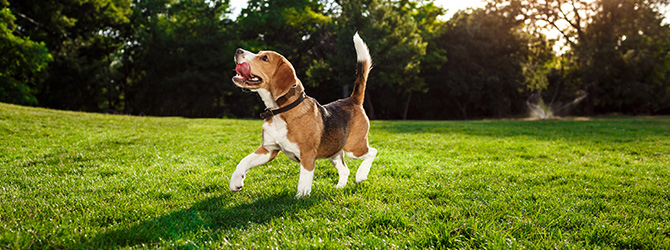 beagle on lawn with toy in mouth