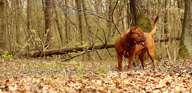 dogue de bordeaux on leaves in front of trees