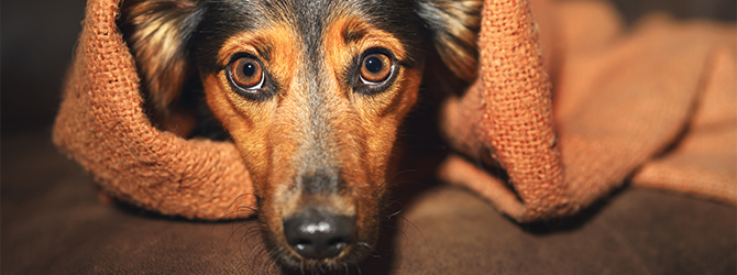 Dry eyes in dogs