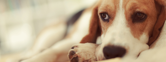 Worried Beagle on Bonfire Night