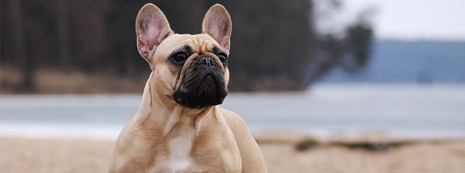 french bulldog on a beach