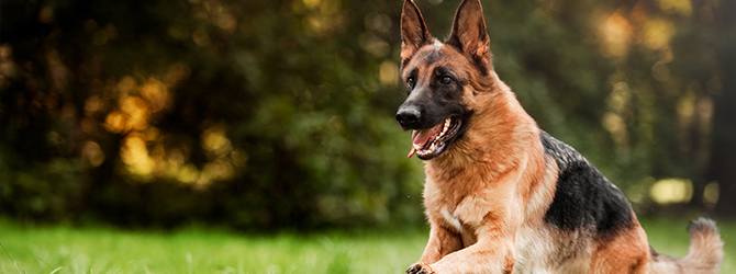 german shepherd sitting on grass with tongue out