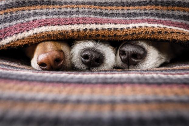 dogs under blanket