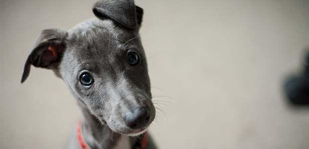 whippet puppy close-up