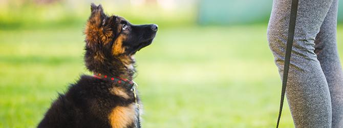 german shepherd puppy looking up at owner