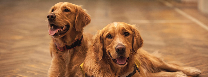 2 golden retrievers lying down looking at camera