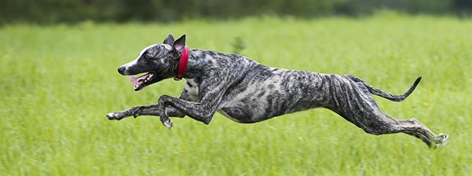 grey greyhound running across field