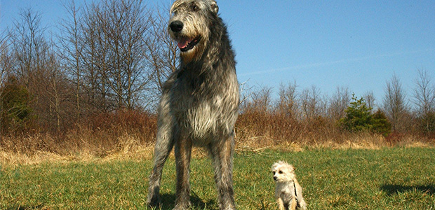 tall irish wolfhound standing beside small dog