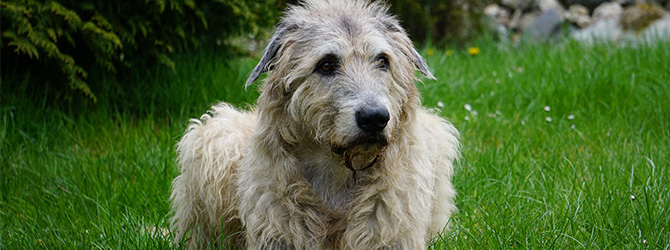 irish wolfhound lying on grass