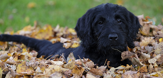 labradoodle in autumn leaves