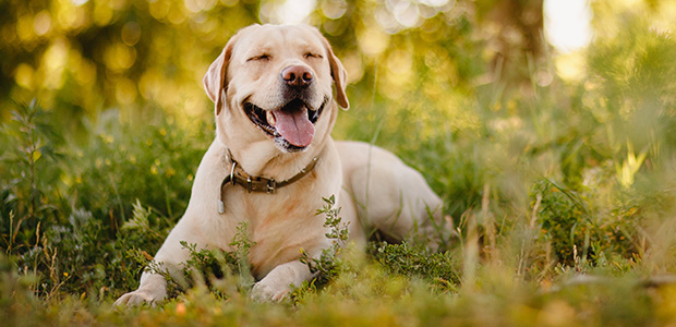 labrador lying in field smiling