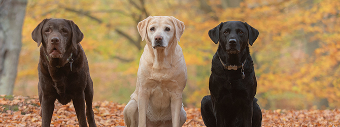 three labradors standing side by side against autumn background
