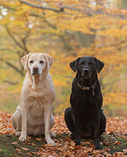 two labradors on a field